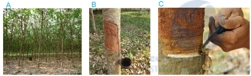 Figure 1: Rubber plantation in Luang Prabang province, Lao PDR (A) Rubber plantation (B) Rubber tree with collecting cup (C) Cutting of rubber tree for tapping